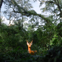"Alexander Diaz, ""White-Tailed Deer, Apalachicola National Forest"""