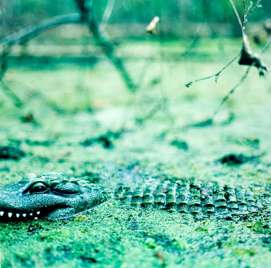 "Alexander Diaz, ""American Alligator, Paynes Prairie State Preserve"""