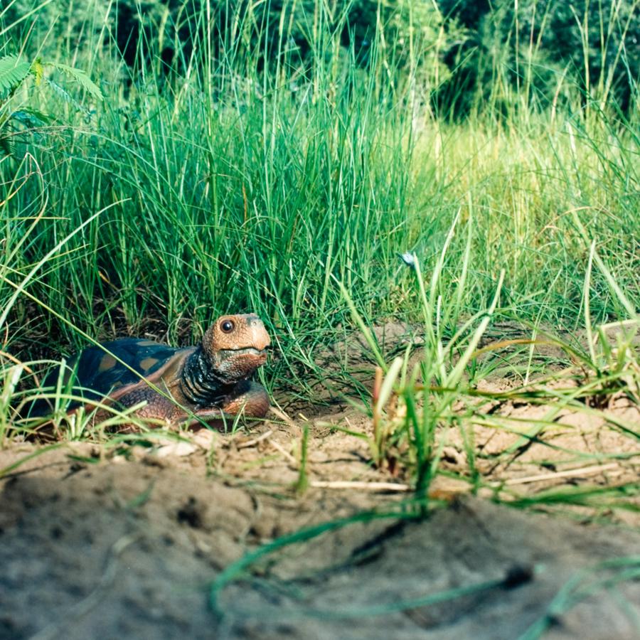"Alexander Diaz, ""Gopher Tortoise, Anastasia State Park"""