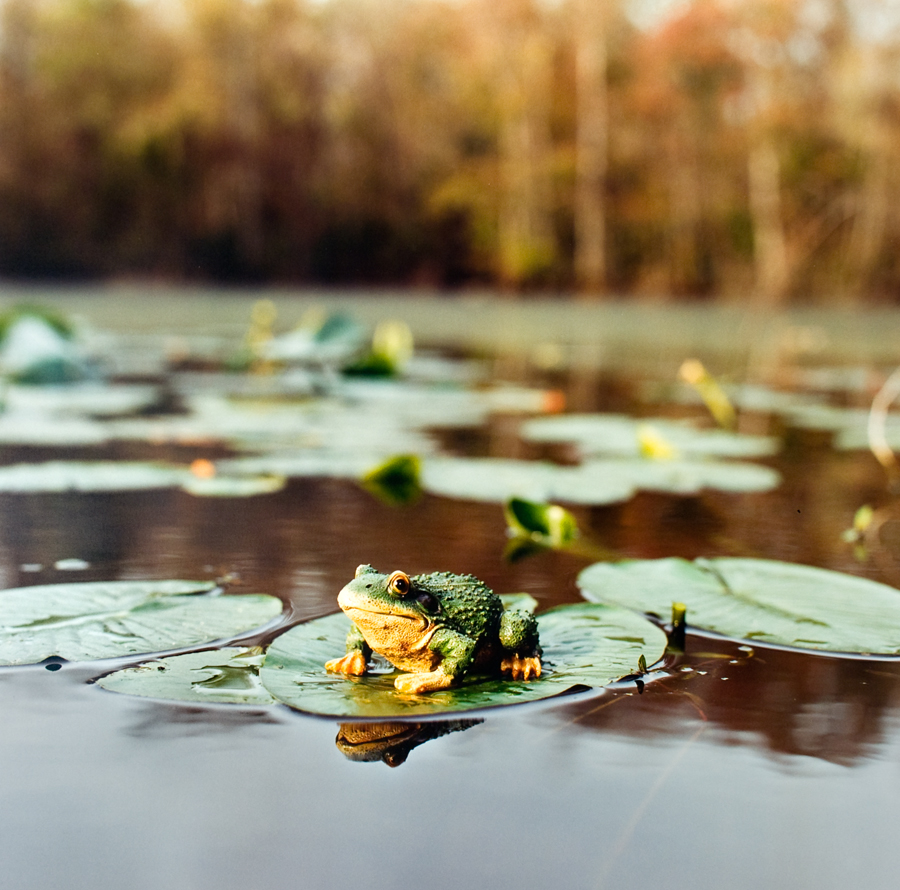 "Alexander Diaz, ""Bullfrog, Corkscrew Swamp Sanctuary"""