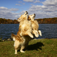"Andrew Fladeboe, ""Golden Retrievers"""
