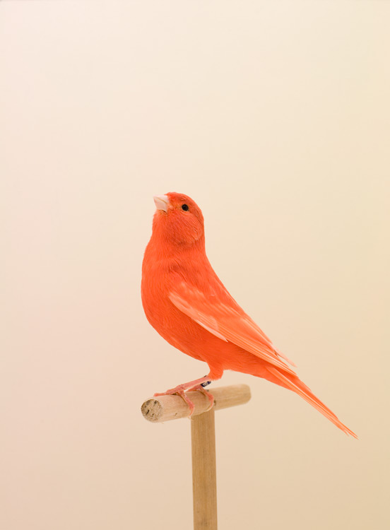 "Luke Stephenson, ""Red Canary #1"""
