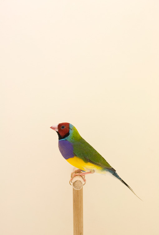 "Luke Stephenson, ""Gouldian Finch #1"""