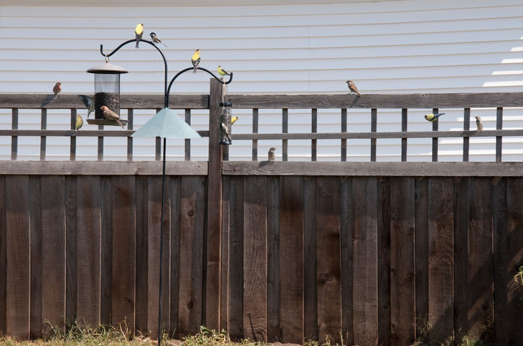 "Miranda Brandon, ""Always a cheerful Goldfinch in the backyard"""