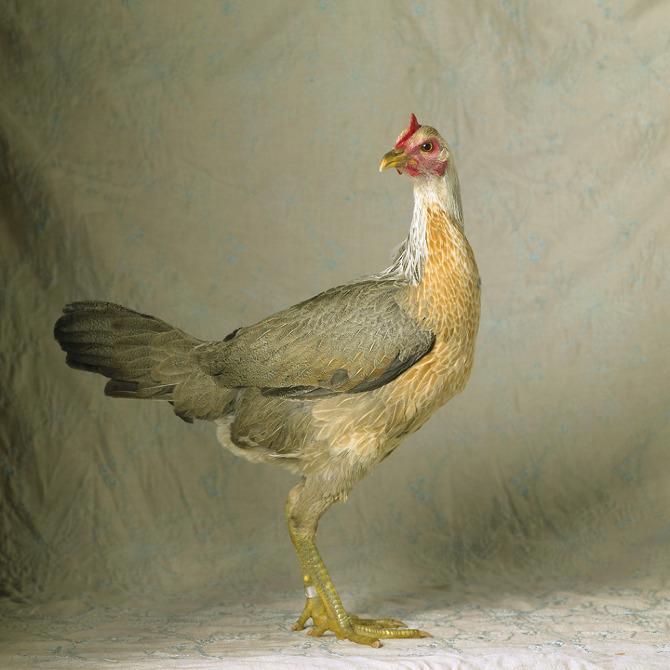 """Tamara Staples, """"The Magnificent Chicken"""""""