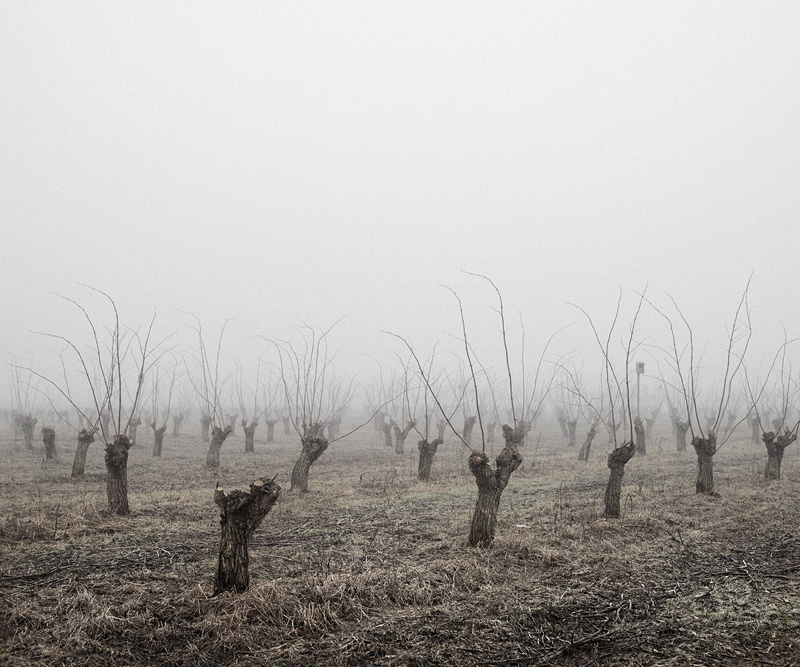 "Tamas Dezso, ""Locust Trees (North-East Hungary)"""